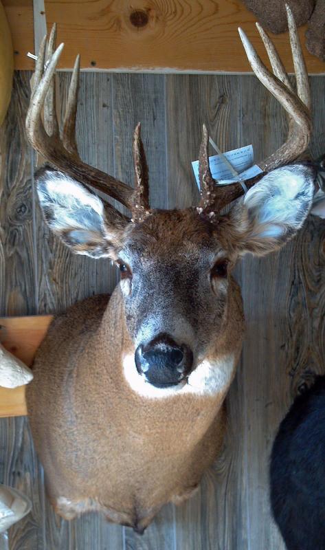 Photo Gallery Deer Mounts Mounted Memories Taxidermy